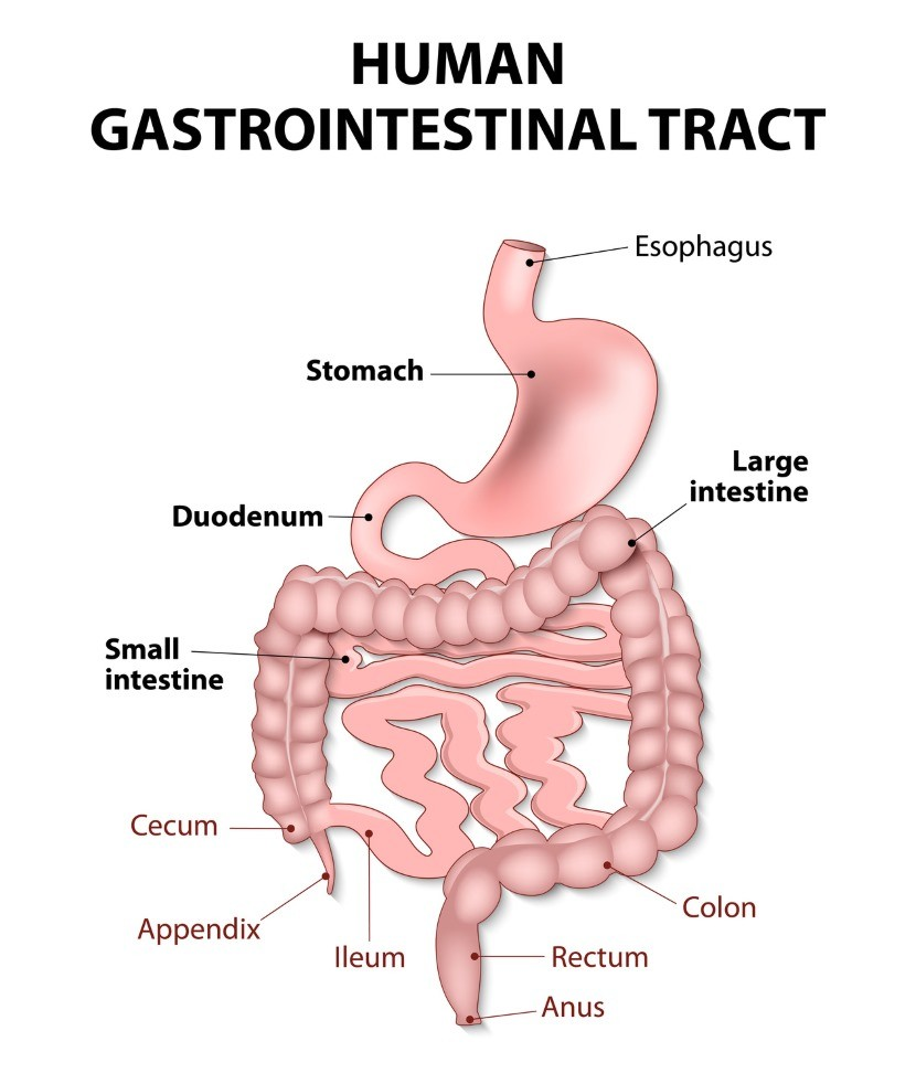 Human GI Tract Designed for a Plant-Food Diet - DrCarney.com Blog