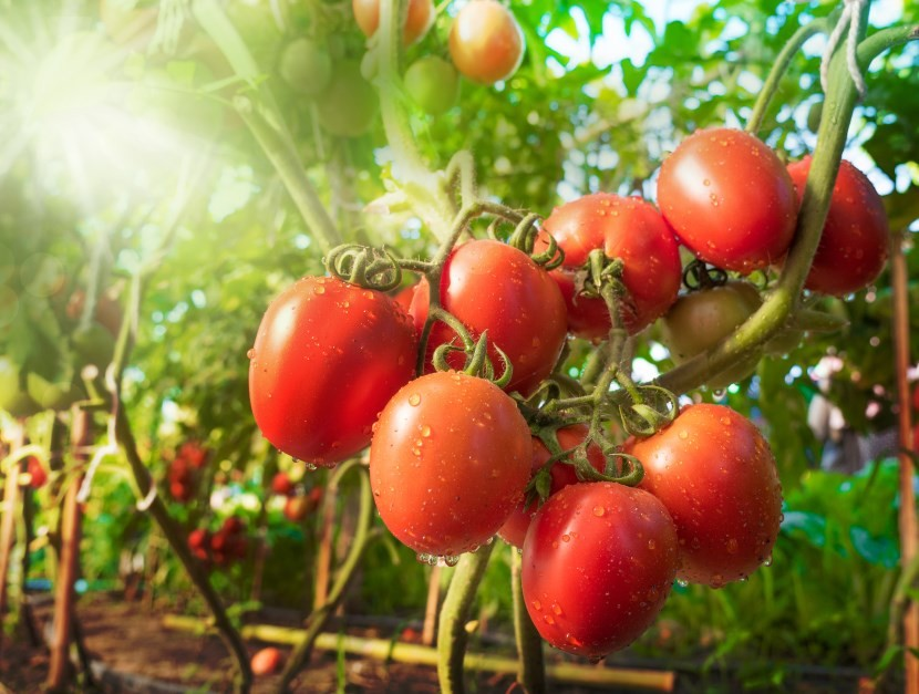 Tomatoes Linked to Lower Prostate Cancer Risk