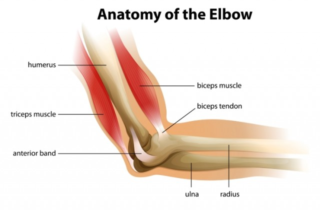 Elbow Anatomy